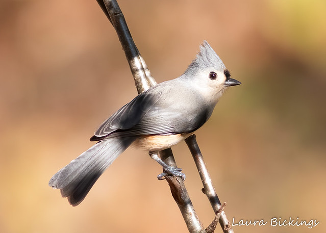 TITMOUSE IN THE SHADOWS HIDING-