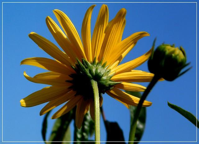 Słonecznik bulwiasty * EXPLORE