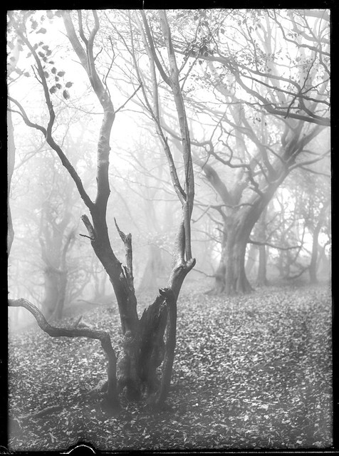 Trees in Mist IV (dry plate).