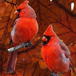 Fall Male Cardinals