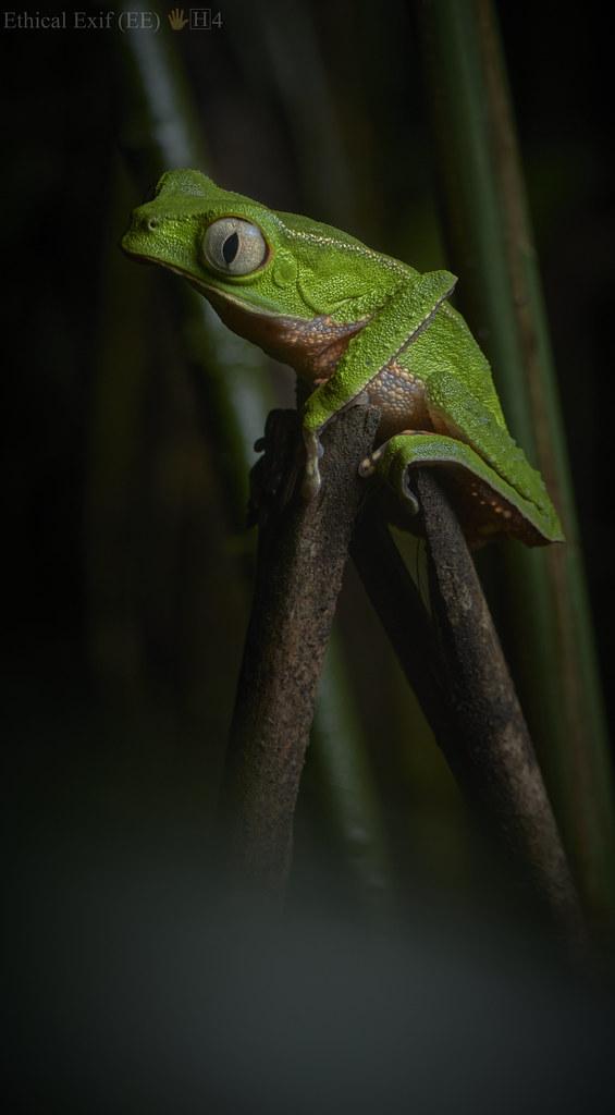 Monkey frog (Phyllomedusa sp.