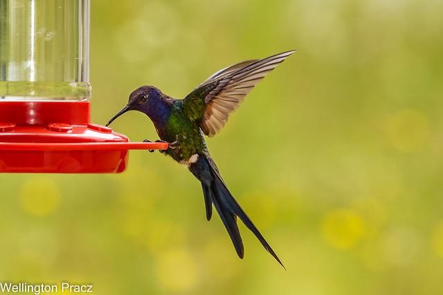 SWALLOW-TAILED HUMMINGBIRD!