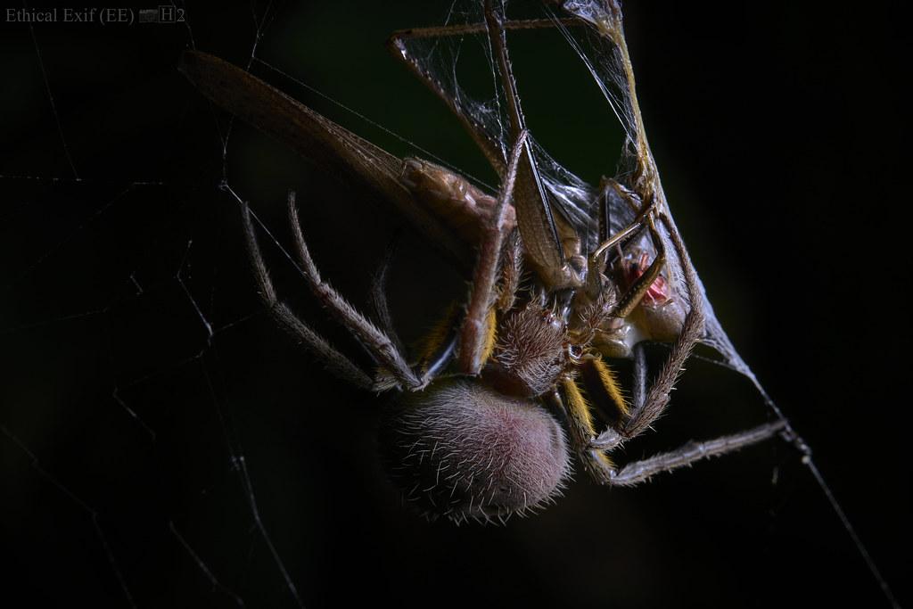 Orbweaver with katydid prey