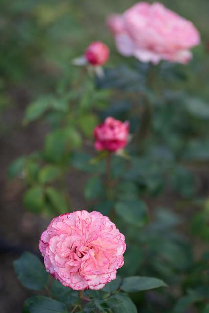 Rose 77