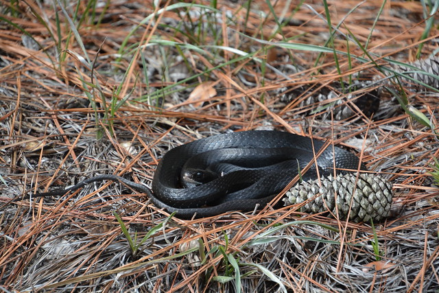 A balled up northern black racer.