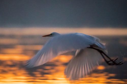 greategret bird flight bif twilight dawn highiso water reflection grainy nature wildlife armandbayou pasadena texas kayak gseloff