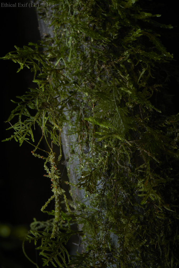 Camouflaged mossy stick insect
