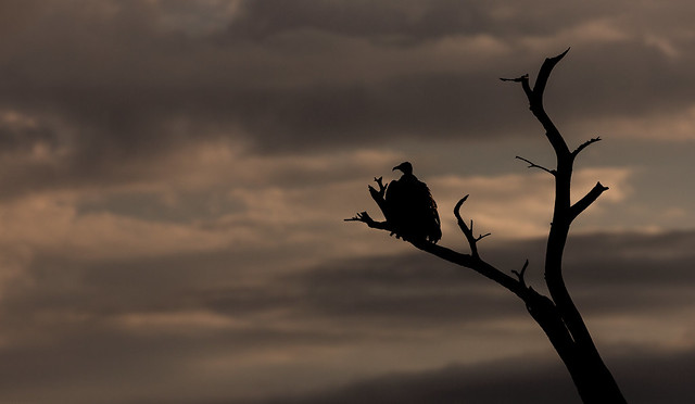 Backlit Vulture