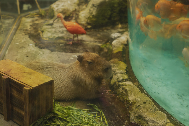 capybara at Toba Aquarium