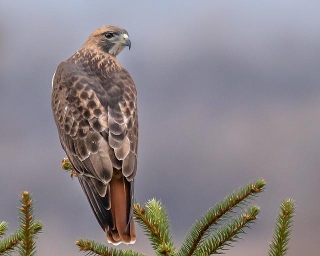Neighborhood Hawk...