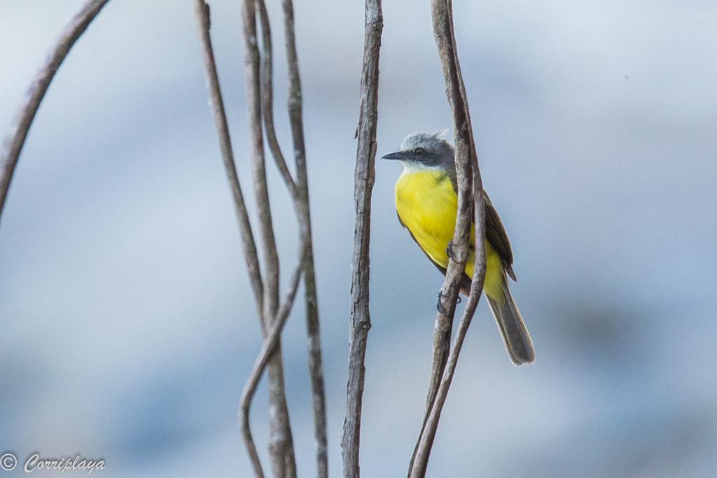 Tirano melancólico, Tyrannus melancholicus, Tropical kingbird