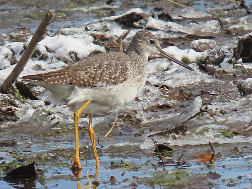 Greater Yellowlegs - Silver Lake - © Ann McMican - Nov 02, 2020