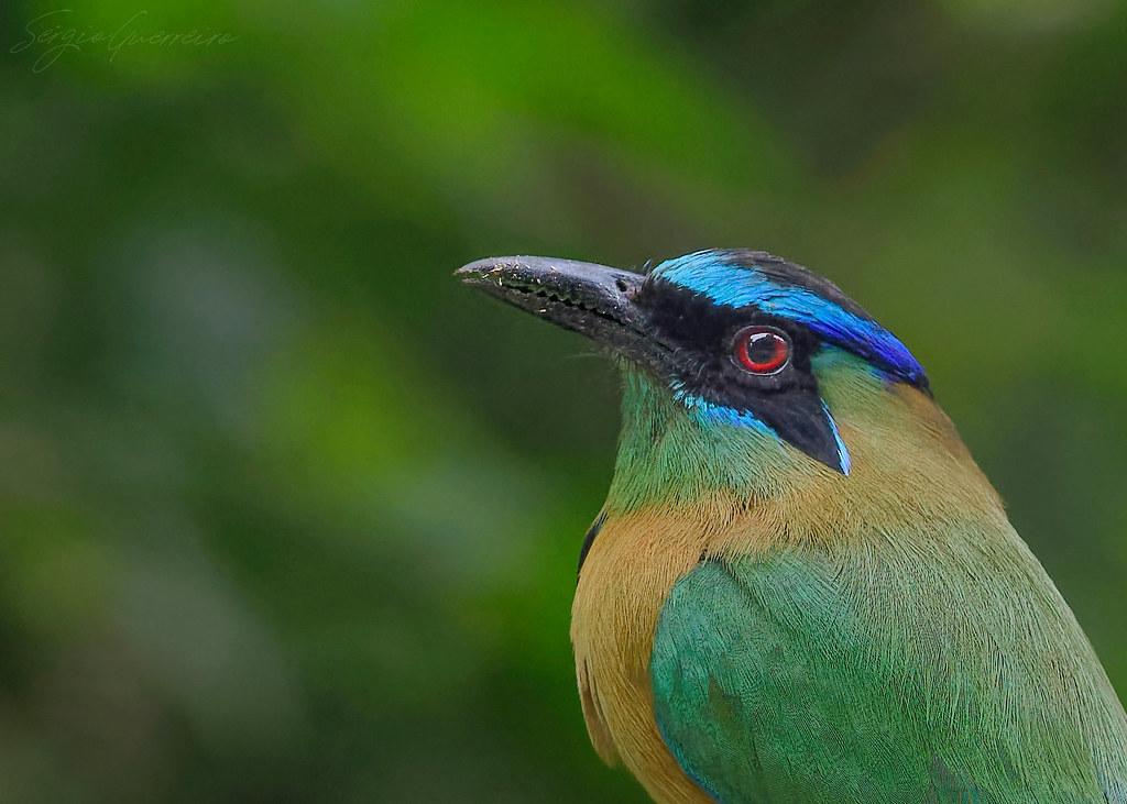 Blue-crowned Motmot / Udu-de-coroa-azul / Momotus momota)
