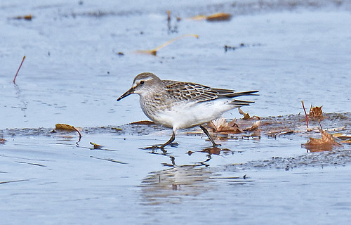 White-rumped Sandpiper - Braddock Bay East Spit - © Dick Horsey - Nov 05, 2020