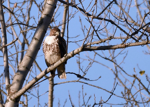 Red-tailed Hawk - Pittsford - © Alan Bloom - Nov 06, 2020