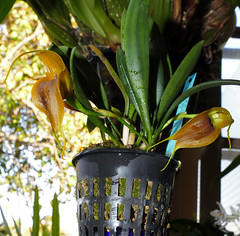 Masdevallia velifera species orchid