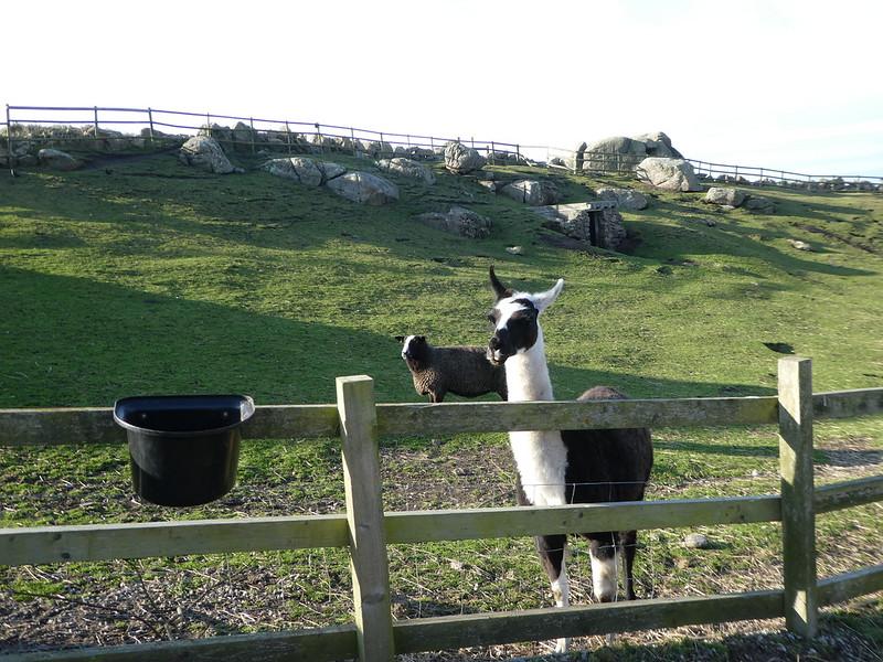 Llama at Greeb Farmstead, Land's End