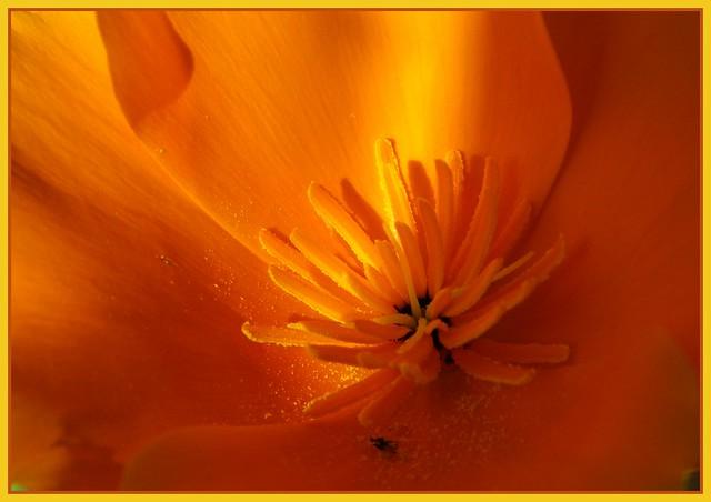 Escholzia Californica, Californian poppy, Pavot de Californie.
