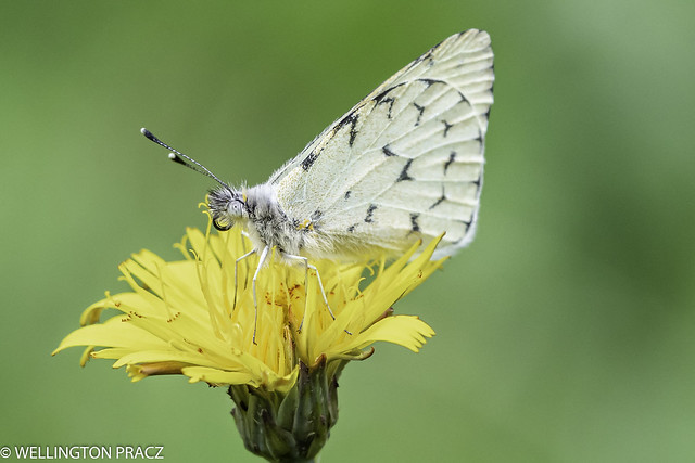 PONTIA OCCIDENTALIS BUTTERFLY