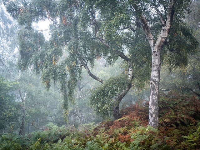 Woodland Mist 11