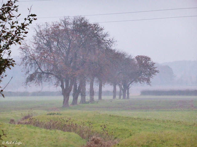 Mist, oaks and powerlines