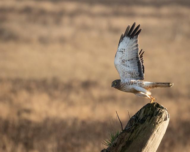 Northern Harrier Hawk take-off