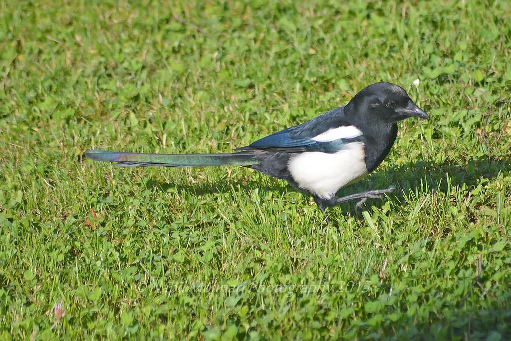 Eurasian magpie (Pie bavarde)