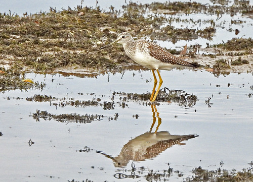 Greater Yellowlegs - LaSalles Landing Park - © Candace Giles - Nov 01, 2020