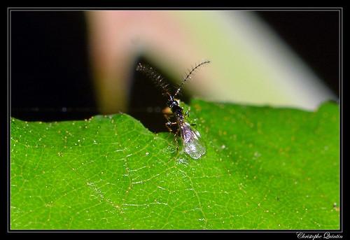 Diapriidae mâle