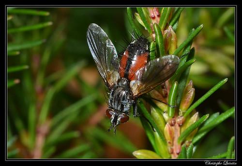Eriothrix rufomaculatus