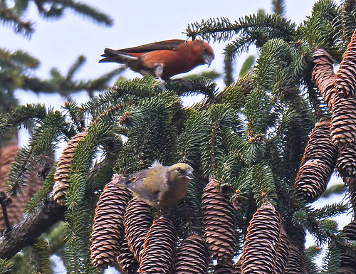 Red Crossbill - Webster Park - © Dick Horsey - Nov 05, 2020