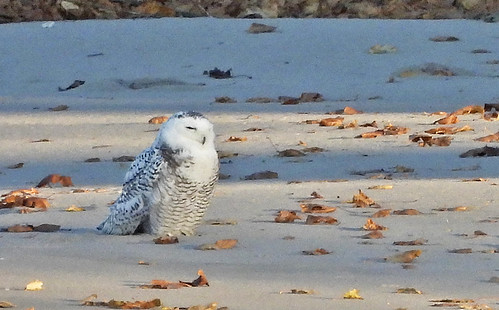 Snowy Owl - Irondequoit Bay Outlet - © Candace Giles - Nov 08, 2020