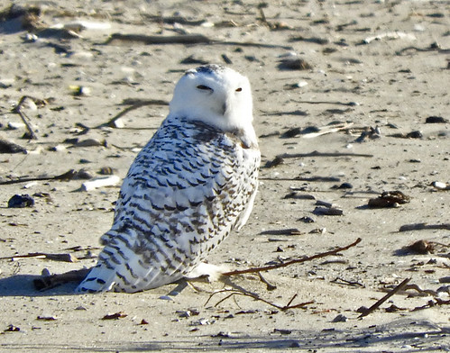 Snowy Owl - Irondequoit Bay Outlet - © Eunice Thein - Nov 08, 2020