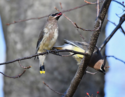 Cedar Waxwing - Whiting Road Nature Preserve - © Dick Horsey - Nov 09, 2020