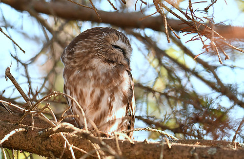 Northern Saw-whet Owl - Owl Woods - © Dick Horsey - Nov 04, 2020
