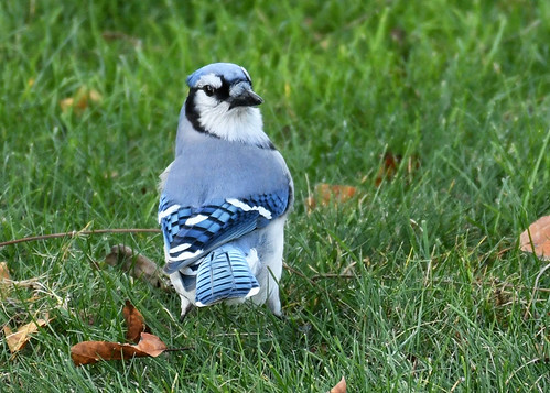 Blue Jay - Pittsford - © Alan Bloom - Nov 07, 2020