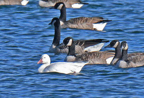 Snow Goose - Hamlin Beach Park - © Dick Horsey - Nov 08, 2020