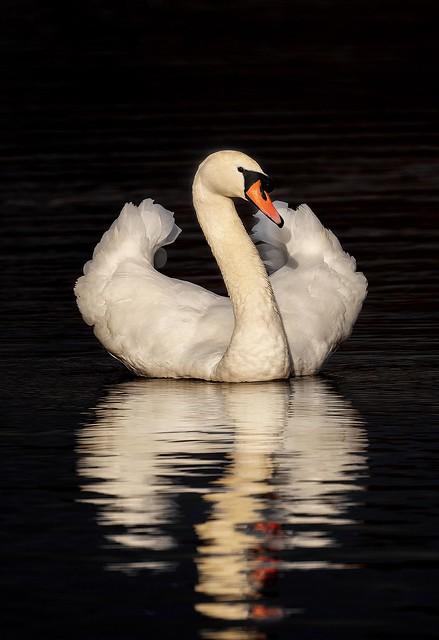 Swan Vista