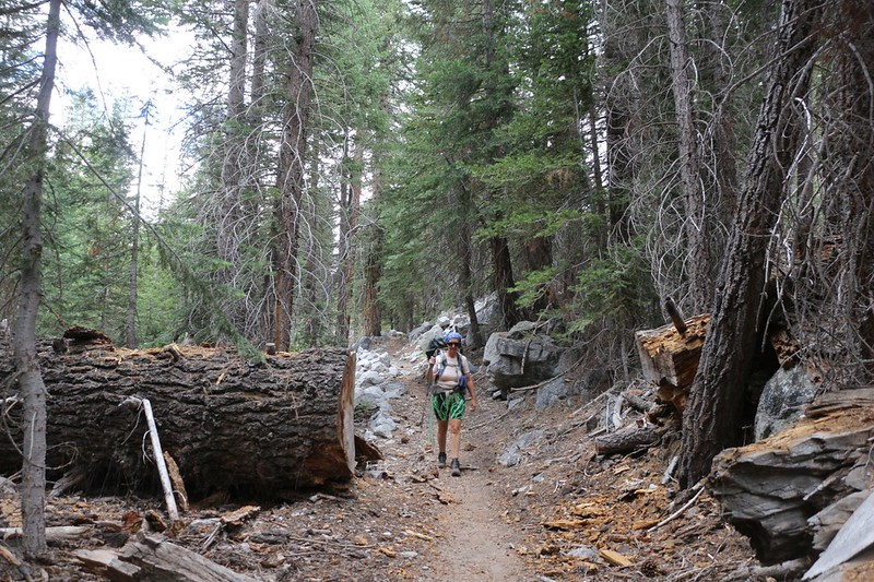 There are some truly large pine trees down in the Kern Canyon on the High Sierra Trail