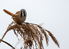 Bearded Reedling (Panurus biarmicus) Skäggmes