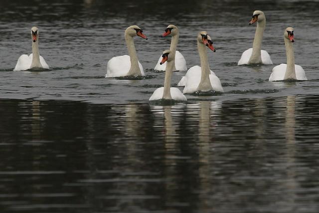 Swan at Fareham Creek, Hampshire