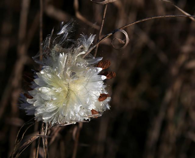 Miracle of Milkweed