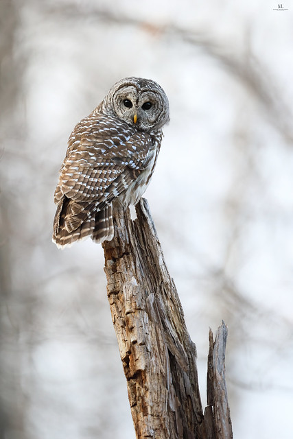 Barred owl - Chouette rayée - Strix varia