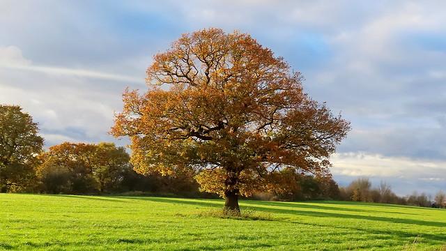 Cheshire Oak,