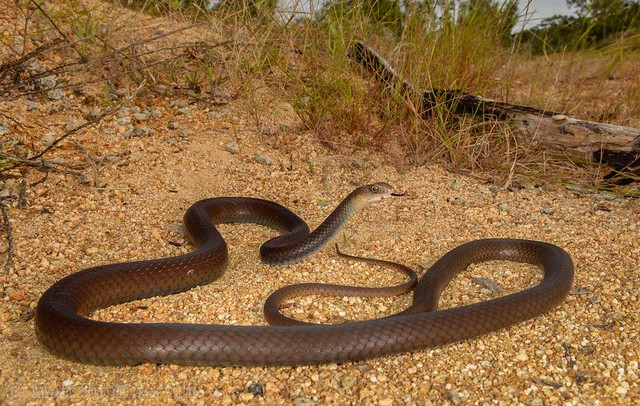 Greater Black Whipsnake (Demansia papuensis)