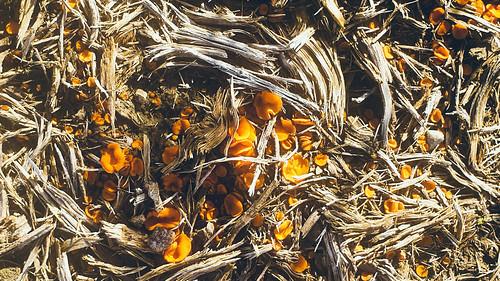 kleine oranje bekerzwam