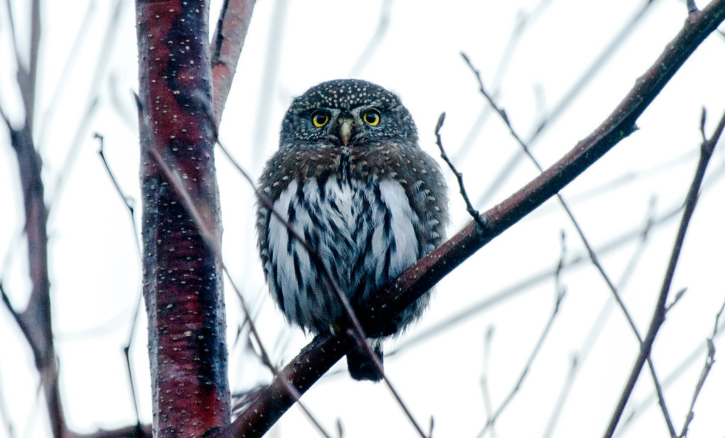 Pygmy Owl (1 of 1)