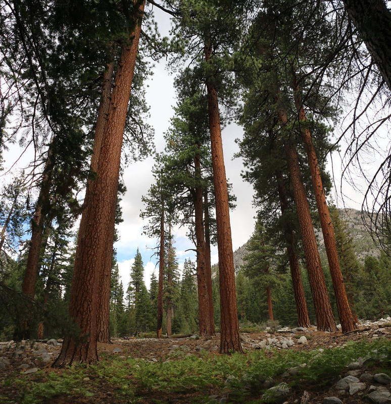 Lots of tall, beautiful pine trees in Kern Canyon along the High Sierra Trail