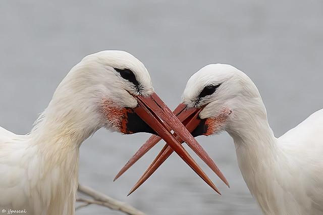 Cigogne blanche (Ciconia ciconia) - White Stork