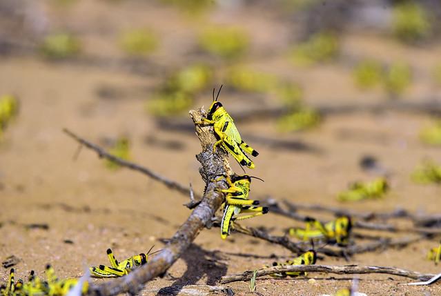 Desert locust control operations - Ethiopia